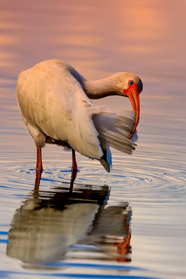 White Ibis, Ibis, Birding, Florida, Seminole County, Images of Ibis's. White Ibis Photos