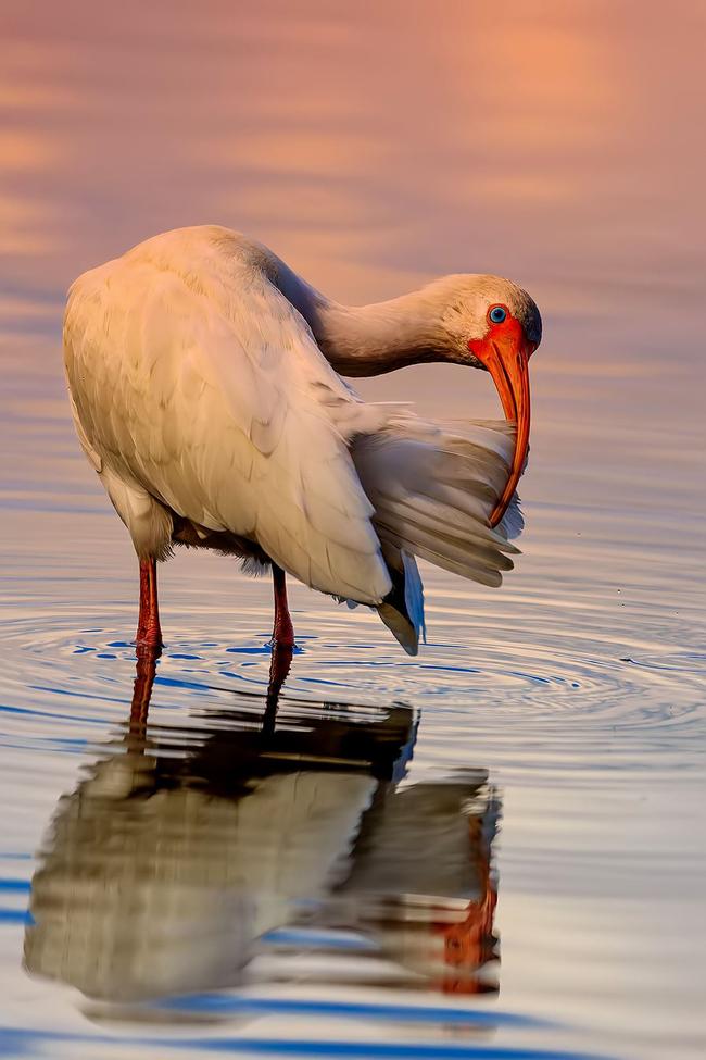 White Ibis, Ibis, Birding, Florida, Seminole County, Images of Ibis's. White Ibis Photos