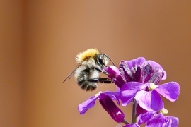 Honey Bee, Bee, Bees, Ireland, Images of Honey Bees, Bee Photos