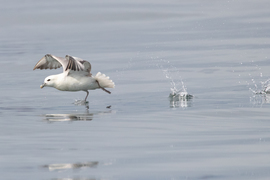 Fulmar, Fulmars, Birding, Great Britain, Scotland, Images of Fulmars, Fulmar Photos