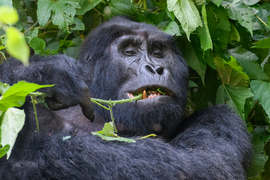 Gorilla, Gorillas, Silverback, Bwindi Impenetrable Forest, Uganda, Images of Gorillas, Silverback Gorilla Photos