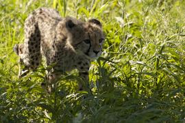 Cheetah, Botswana, Botswana wildlife, African safari, African safari images, African wildlife, baby cheetah, cheetah images, cheetah pictures