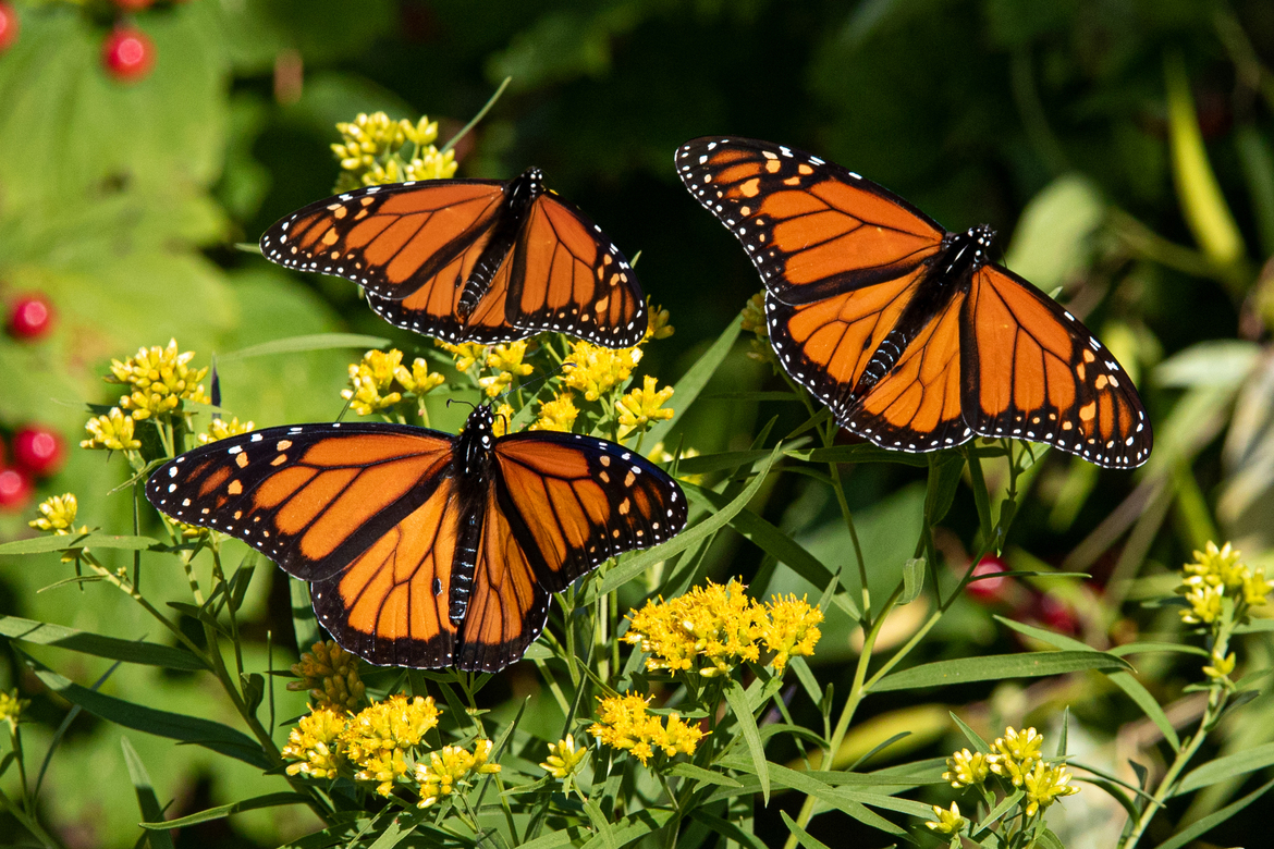 Monarchs, Monarch Butterflies, Canada, Images of Monarchs, Monarch Photos