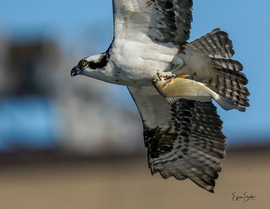 Osprey, Ospreys, Birding, Wisconsin, Images of Ospreys, Osprey Photos