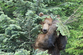 Brown Bears, Bears, Brown Bear, Grizzly, Alaska, Images of Brown Bears, Brown Bear photos