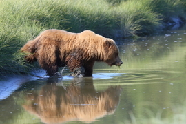 Bears, Brown Bears, Grizzly, Brown Bear, Bear Images, Photos of Brown Bears