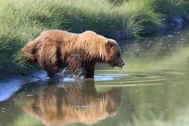 Grid 209ssc brown bear
