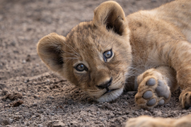 Lion, Lions, Lion Cub, Zimbabwe, South Africa, Images of Lion Cubs, Lion Cub Photos