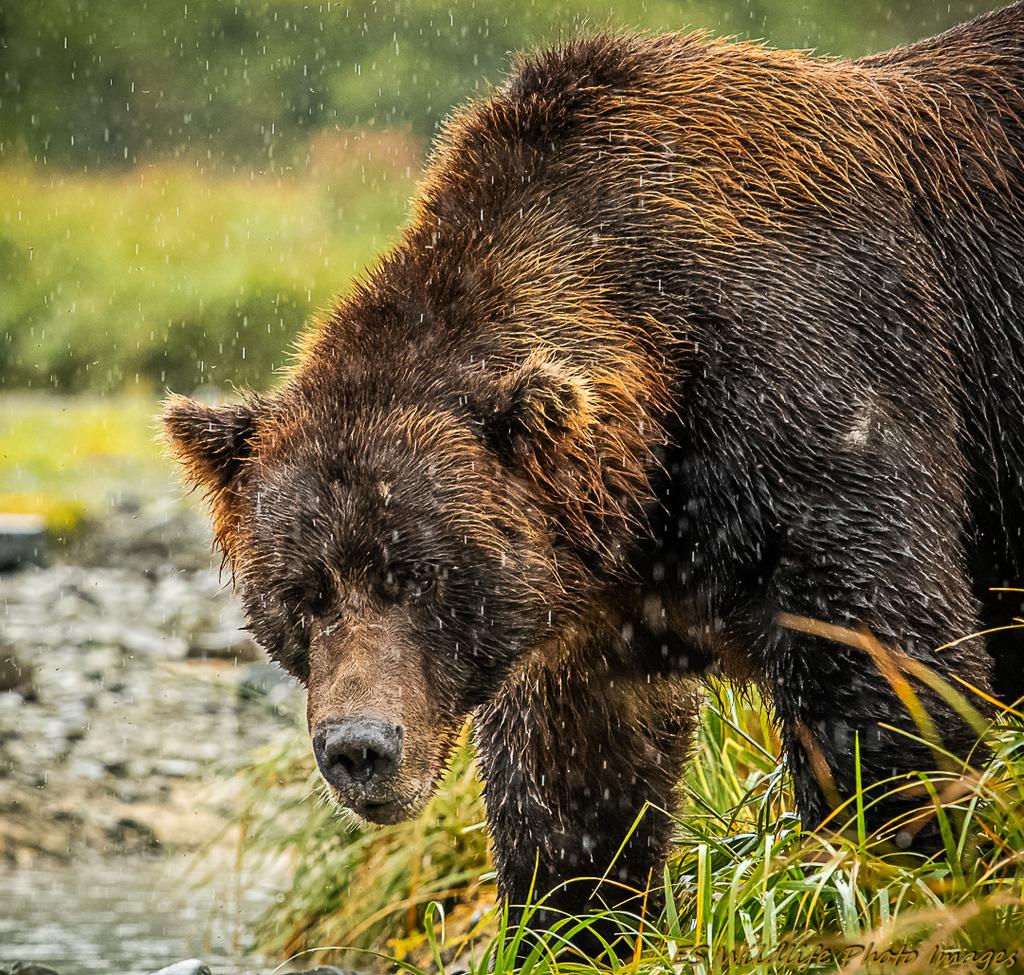 Brown Bears, Brown Bear, Alaskan Brown Bear, Alaska, Images of Brown Bears, Alaskan Brown Bear Photos