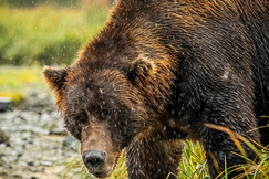 Brown Bears, Brown Bear, Alaskan Brown Bear, Alaska, Images of Brown Bears, Alaskan Brown Bear Photos