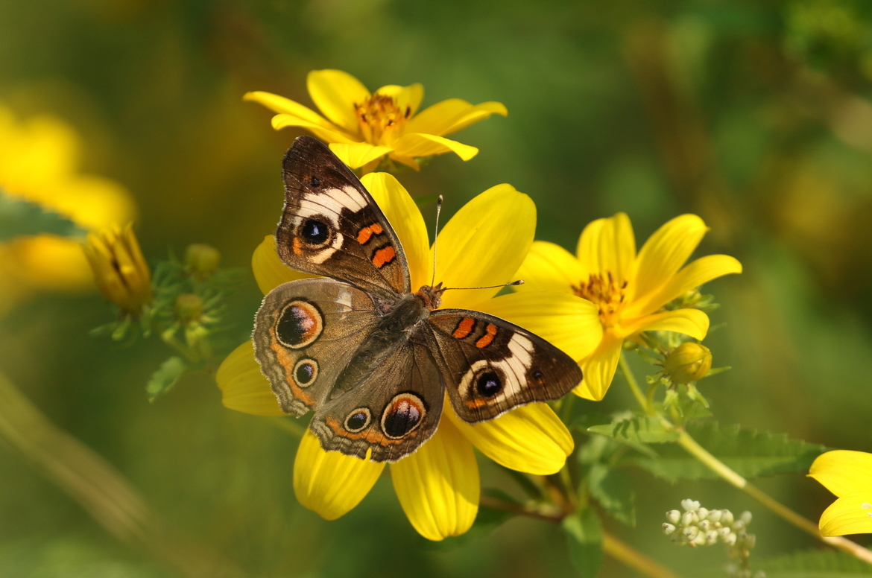 Butterfly, Common Buckeye Butterfly, Buckeye Butterfly,