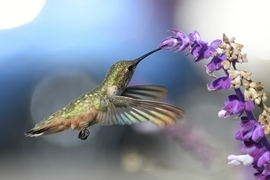 Hummingbird, Hummingbirds, Allen's Hummingbird, Birding, California, Photos of Hummingbirds, Hummingbird Images