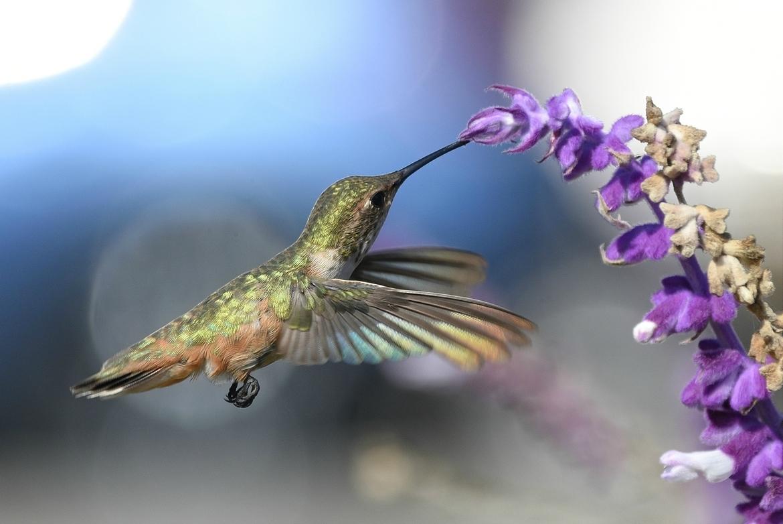 Hummingbird, Hummingbirds, Allen's Hummingbird, Birding, California, Photos of Hummingbirds, Hummingbird Images