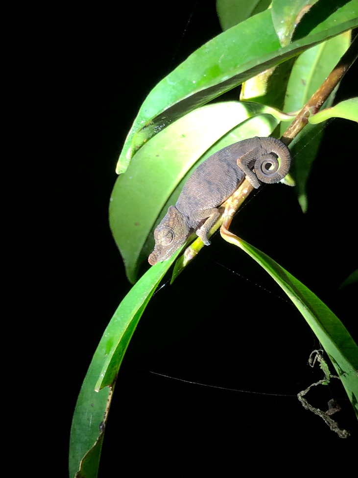 Andasibe National Park, Chameleon, Chameleons, Madagascar, Images of Chameleons, Chameleon Photos