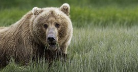 Brown bear, Alaska, Denali National Park, Alaska wildlife, Alaska bears,