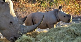 Rhinos, White Rhino, Namibia, White Rhinos, Images of Rhinos. White Rhino Photos