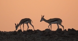 Springbok, Sprinboks, Namibia, South Africa, Images of Springbok, Springbok Photos