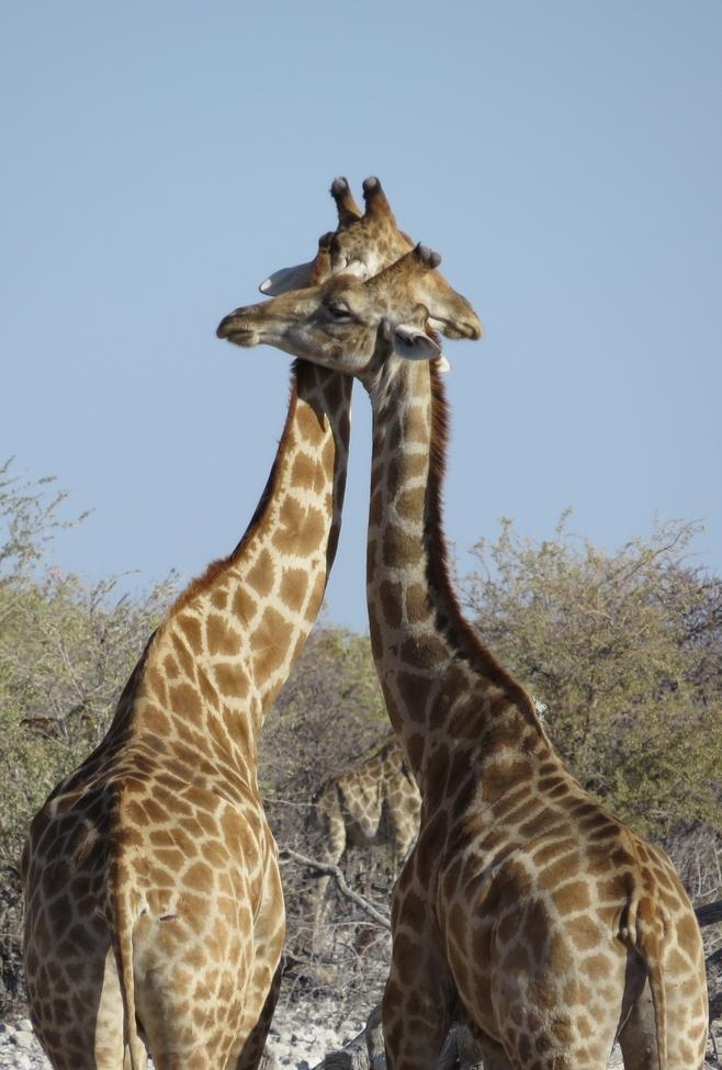 Giraffe, Namibia, Africa, Images of Giraffe, Giraffe Photos