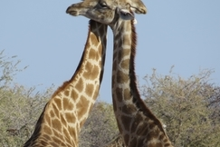 Giraffe, Namibia, Africa, Images of Giraffe, Giraffe Photos