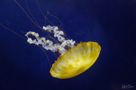 Jellyfish, Zooplankton, San Francisco, Images of Jellyfish, Jellyfish Photos