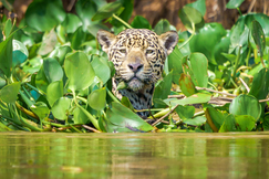 Jaguar, Jaguars, Brazil, Pantanal, Images of Jaguars, Jaguar Photos