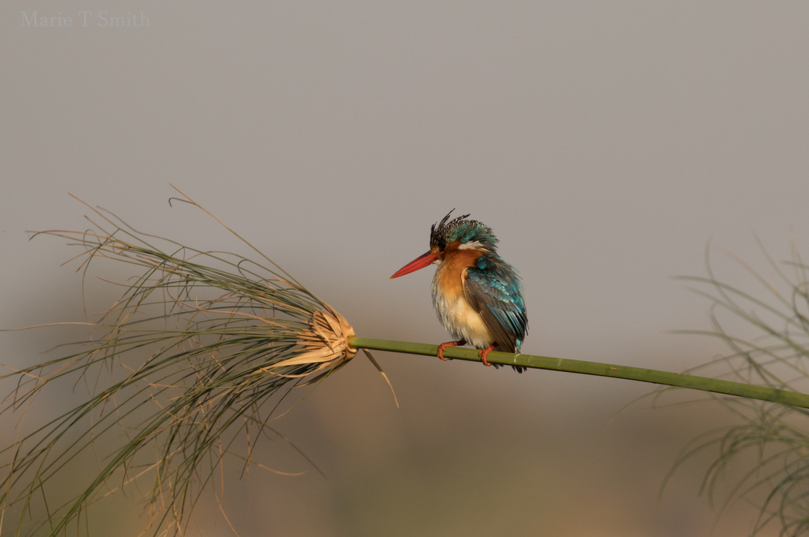 Malachite Kingfisher, Kingfisher, Botswana, Images of Malachite Kingfishers, Malachite Kingfisher Images, Birding