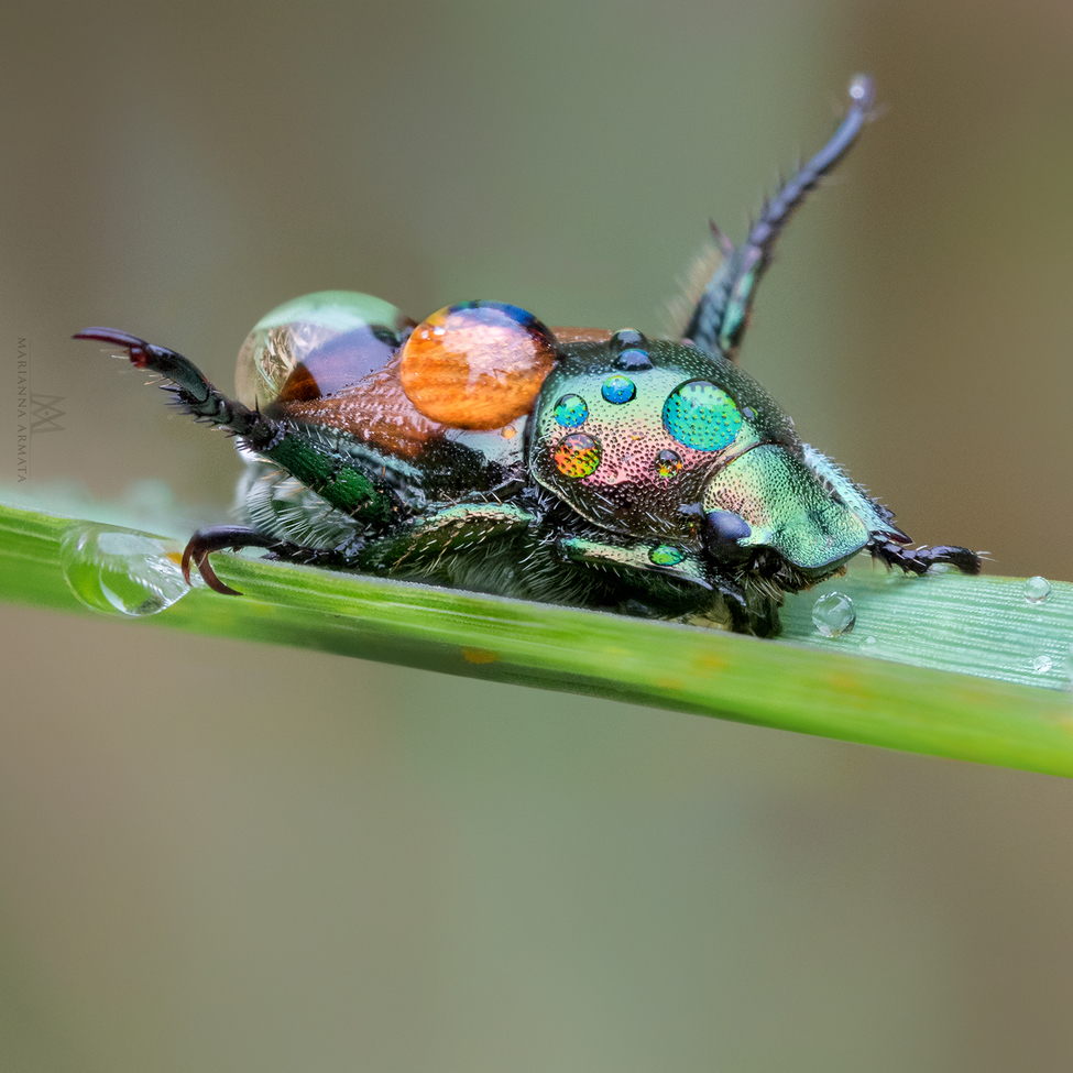 Beetles, Beetle, Japanese Beetle, Japanese Beetles, Images of Beetles, Beetle Photos, Canada