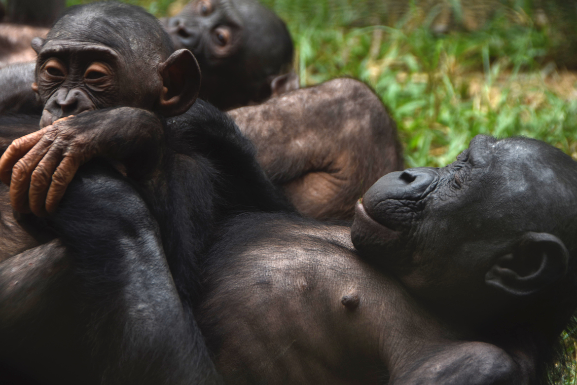 Bonobo, Primates, Congo,  Democratic Republic of Congo,