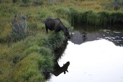 Moose, Rocky Mountain National Park, Colorado, Images of Moose, Moose Photos
