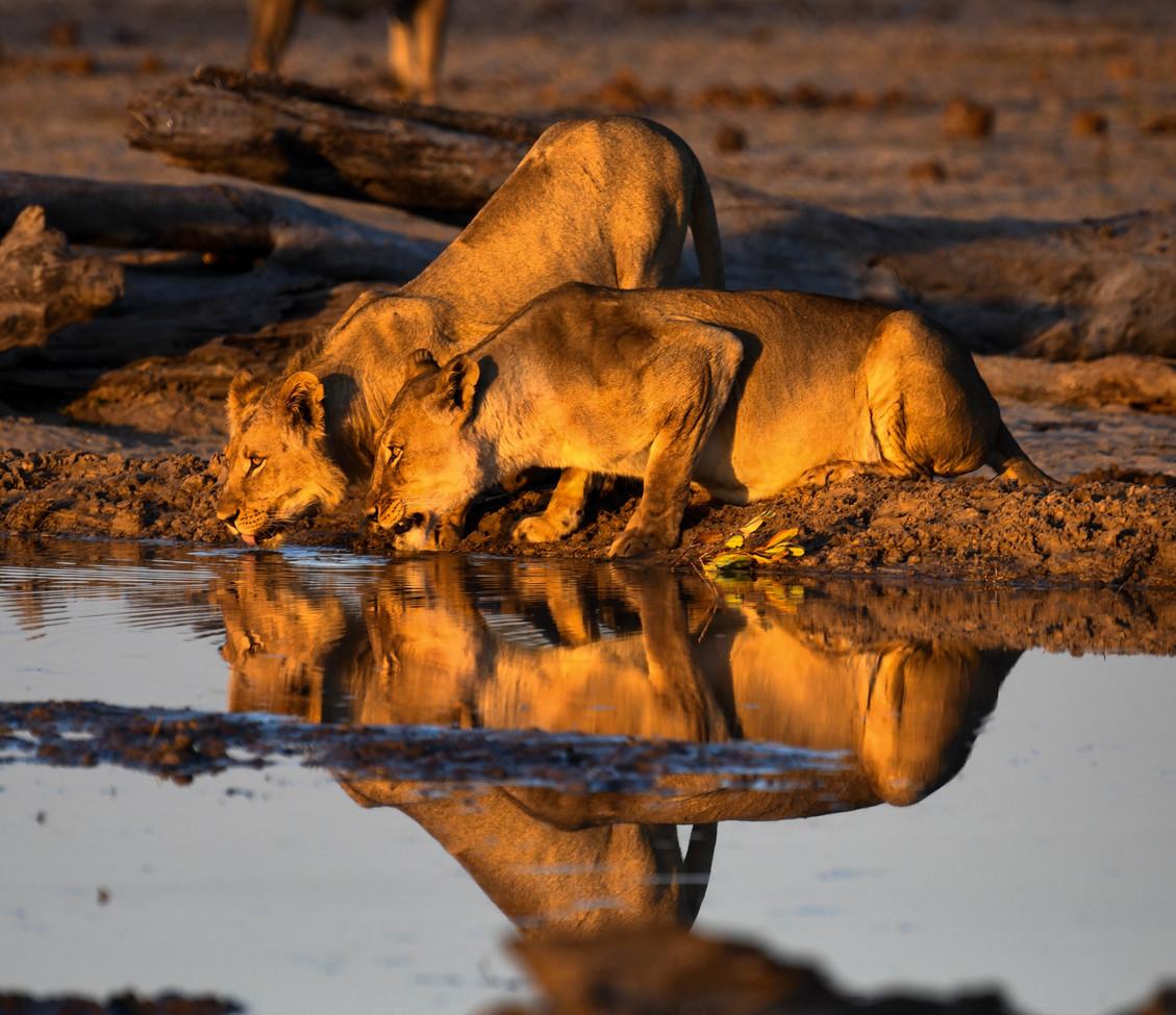 Lion, Lions, Zimbabwe, Images of Lions, Lion Photos,