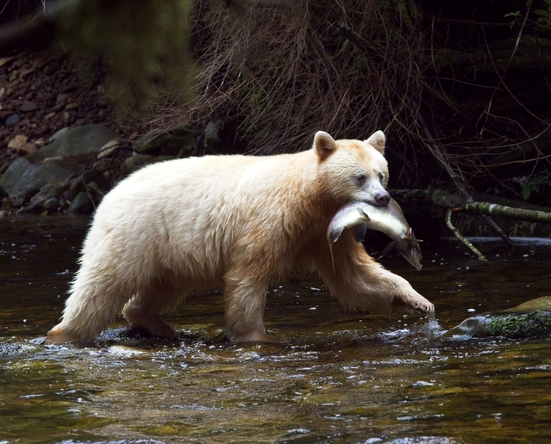 Bear, Bears, Spirit Bears, Spirit Bear, Canada, Kermode Bear, Images of Spirit Bears, Spirit Bear Photos,