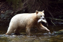 Bear, Bears, Spirit Bears, Spirit Bear, Canada, Kermode Bear, Images of Spirit Bears, Spirit Bear Photos,