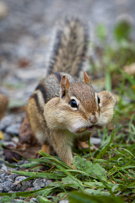 Chipmunk, Chipmunks, Canada, Images of Chipmunks, Chipmunk Photos