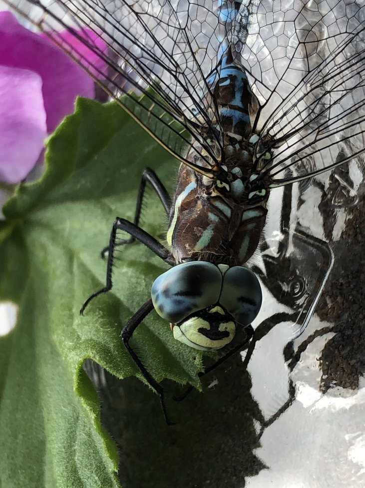 Dragonfly, Dragonflies, Colorado, Images of Dragonflies, Dragonfly Photos