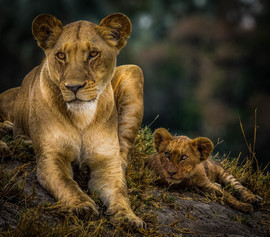 Lion, Lions, Lioness, Botswana, Images of Lions, Lion And Cub Photos