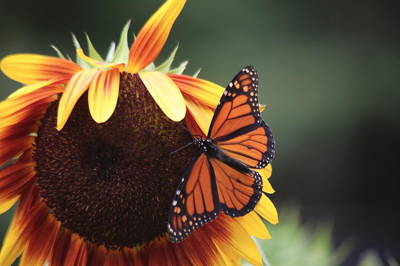 Butterfly, Butterflies, Monarch Butterfly, Monarch Butterflies, New Jersey, Images of Monarch Butterflies, Monarch Butterfly Photos