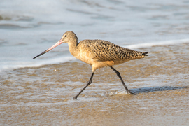 Godwit, Godwits, Marbled Godwit. Marbled Godwits. Birding, California, Images of Marbled Godwits, Godwit Photos