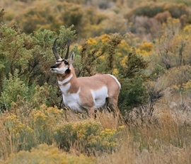 Pronghorn, Pronghorns, Wyoming, Yellowstone National Park, Yellowstone, Images of Pronghorns, Pronghorn Photos,