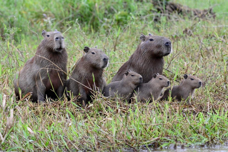 Capybara, Pantanal, Brazil, Photos of Capybara, Capybara Images