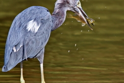 Great Blue heron, Heron, Herons, Great Blue Herons, Texas, Birding, Images of Herons, Heron Photos