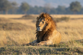 Lion, Lions, Kenya, Maasai Mara, Images of Lions, Lion Photos