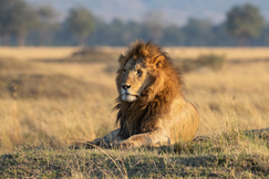 Lion, Lions, Kenya, Maasai Mara, Images of Lions, Lion Photos