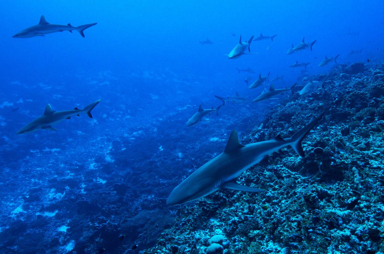 Sharks, Shark, French Polynesia, Images of Sharks, Shark Photos
