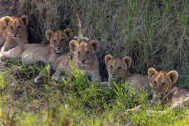 Lions, Lion, Lion Cubs, Kenya, Photos of Lions, Lion Images