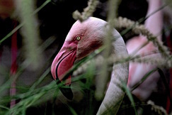 Flamingo, Flamingos, Birding, Florida, Images of Flamingos, Flamingo Photos