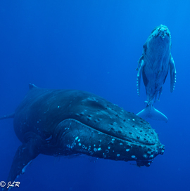 Whales, Whale, Humpback Whales, Humpbacks, Tonga Tonga, Images of Whales, Humpback Whale Photos