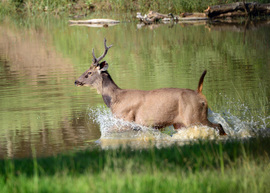 Deer, Sambar Deer, India, Masinagudi Tiger Reserve, Tamilnadu India, Images of Sambar Deer, Deer Photos