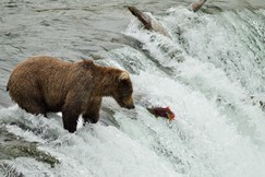 Bears, Brown Bears, Brown Bear, Bear, Alaska, Brooks Falls, Images of Bears, Brown Bear Photos