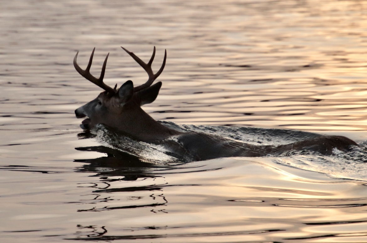 Deer, Swimming Deer, Canada, Deer Photos, Images of Deer