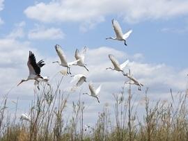Birding, Storks, Yellow Billed Storks Spoonbills, African Spoonbills, Images of Storks, Spoonbill Photos